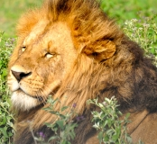 King of Beasts, Masai Mara