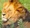 King of Beasts, Masai Mara