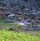 Blue Morph in Flight, Costa Rica
