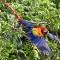 scarlet Macaw, Bosque Del Cabo, Costa Rica
